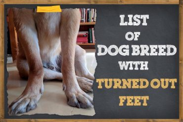 List Of Dog Breeds With Turned Out Feet
