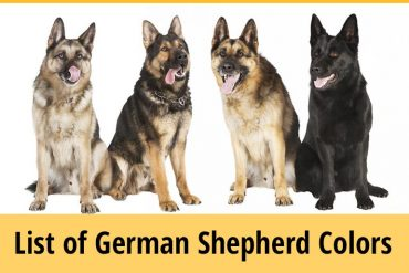 German Shepherd Colors - List and Facts