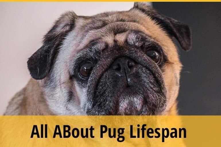 pug lifespan