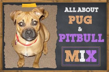 10 Things To Know About Pug and Pitbull Mix