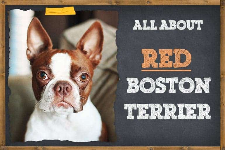 All about red boston terrier