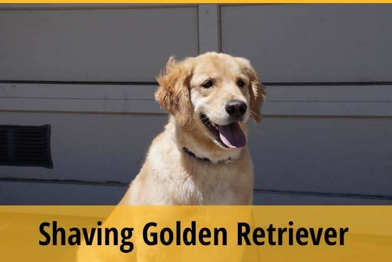 Shaving Golden Retriever