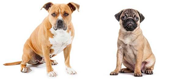 pittbull and pug