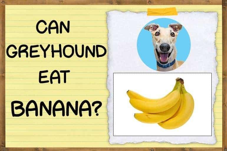 Can Greyhounds Eat Bananas
