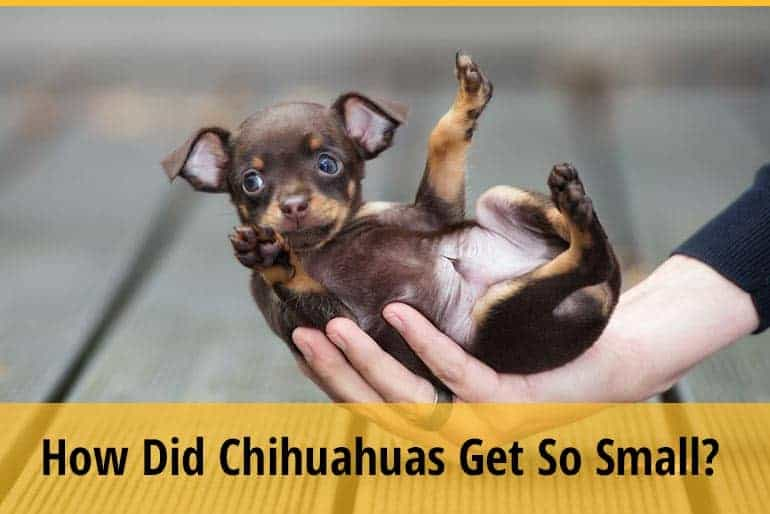 How Did Chihuahuas Get So Small