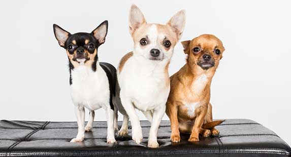 selective breeding on chihuahua