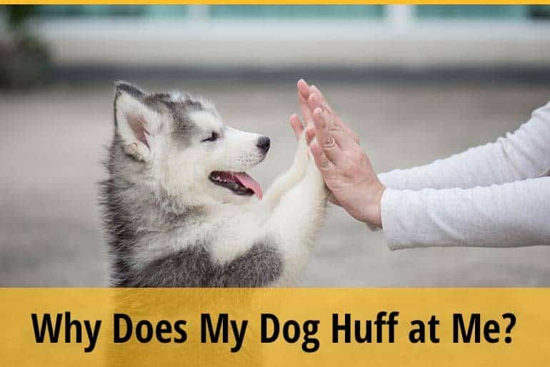 Why Does My Dog Huff at Me?