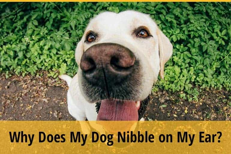 Why Does My Dog Nibble On My Ear?