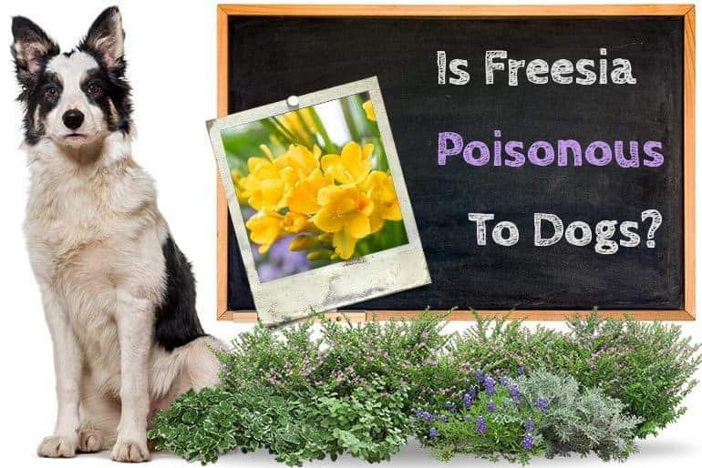 Are Freesias Poisonous to Dogs
