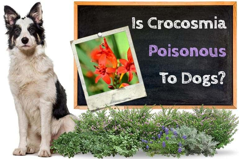 Is Crocosmia Poisonous to Dogs