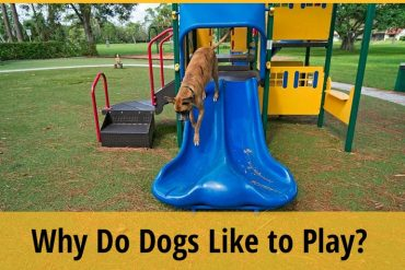 Why Do Dogs Like to Play