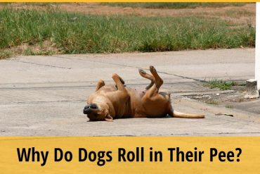 Why Do Dogs Roll in Their Pee