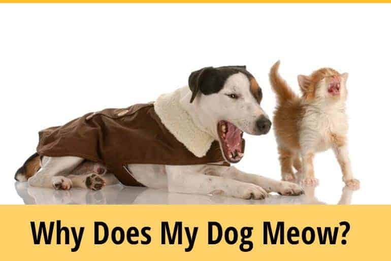 Why Does My Dog Meow