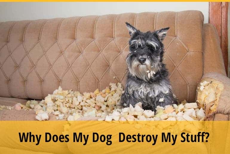 Why Does My Dog Only Destroy My Stuff?