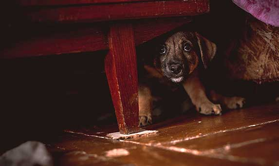 Dog hiding under a couch