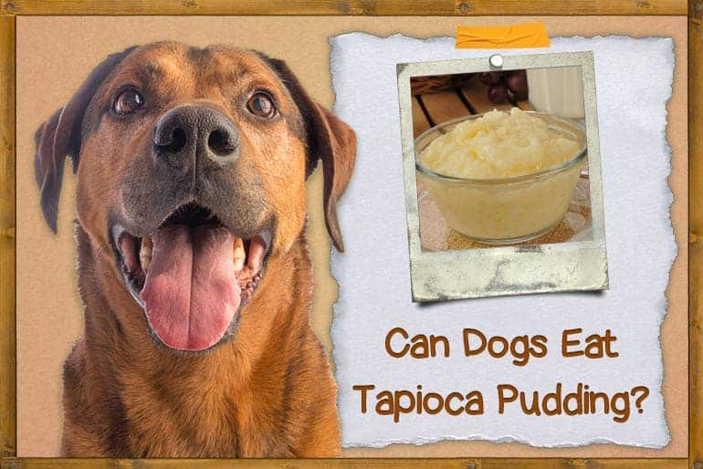 Can Dogs Eat Tapioca Pudding