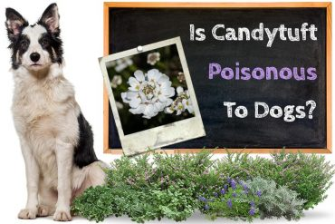Is Candytuft Poisonous to Dogs