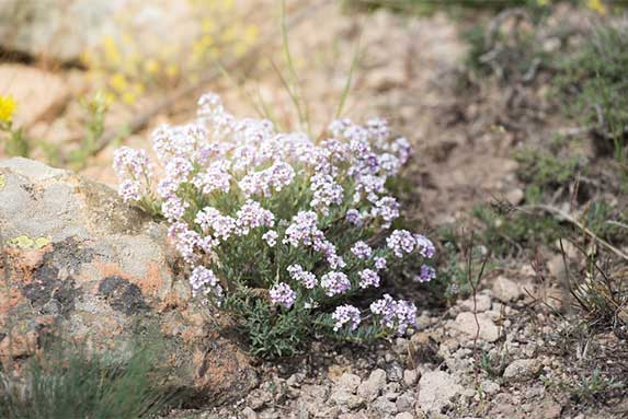 Candytuft for dogs