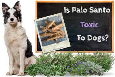 Is Palo Santo Toxic to Dogs