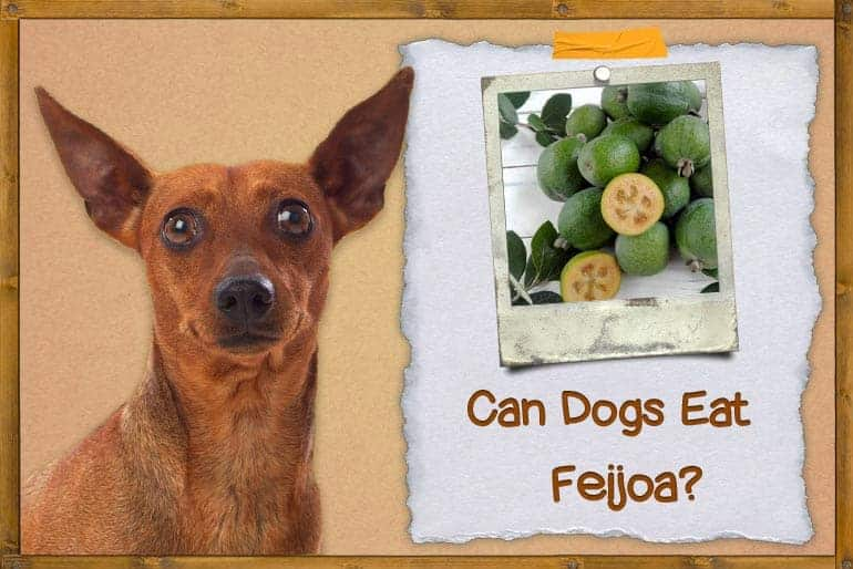 Can Dogs Eat Feijoa