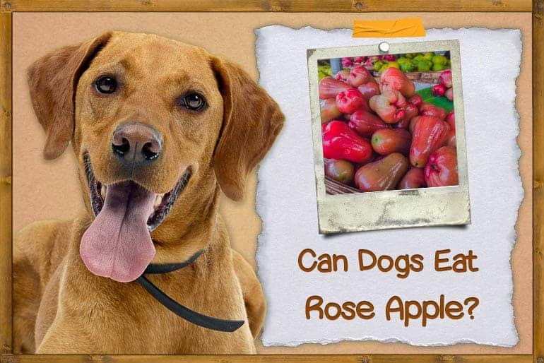 Can Dogs Eat Rose Apple