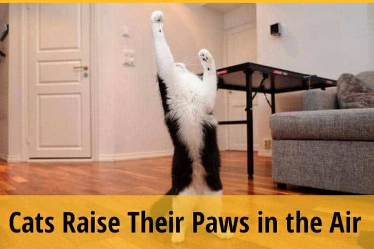 Why Do Cats Raise Their Paws in the Air
