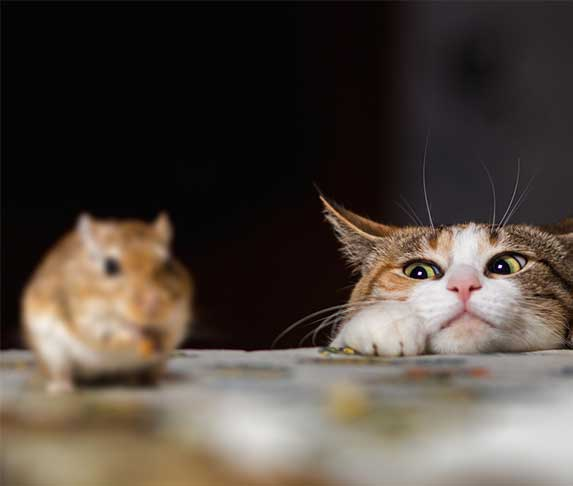 cat watching a mouse