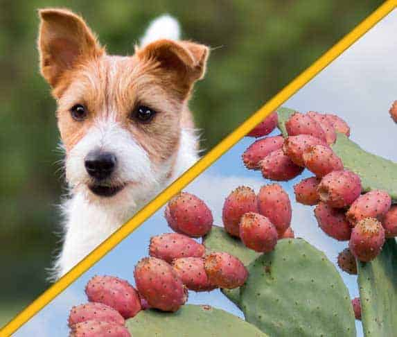 Dog Eats Prickly Pear