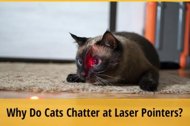 Why Do Cats Chatter at Laser Pointers