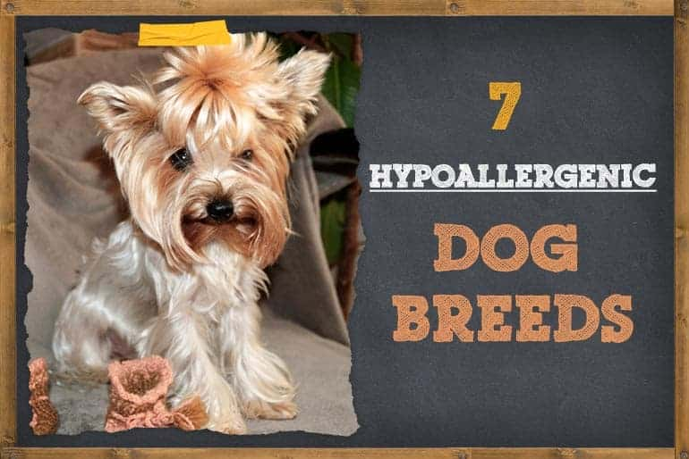 7 Hypoallergenic Guard Dogs that do not Shed Often