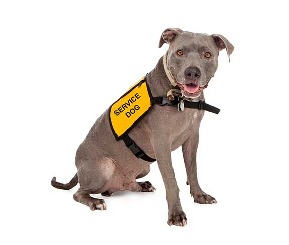 service dog on white background