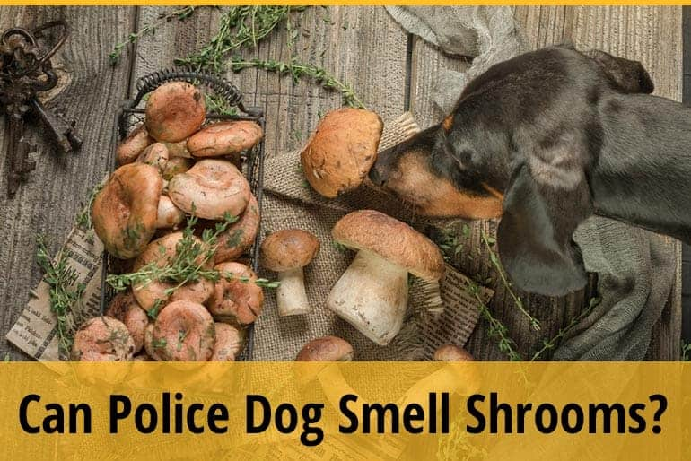 Can Police Dogs Smell Mushrooms