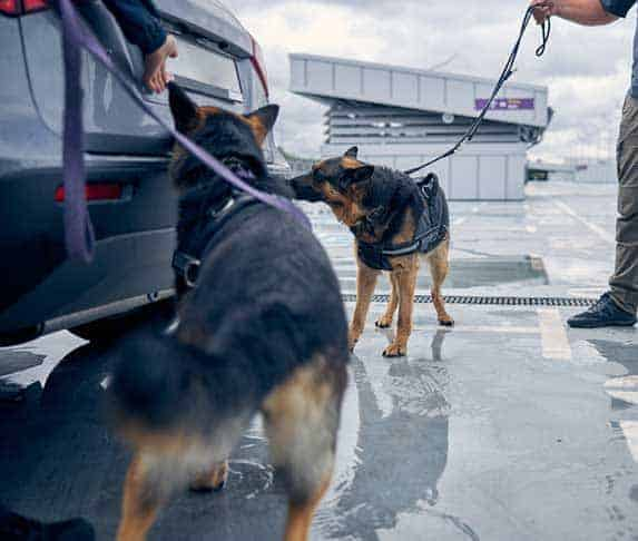 sniffer dogs in training