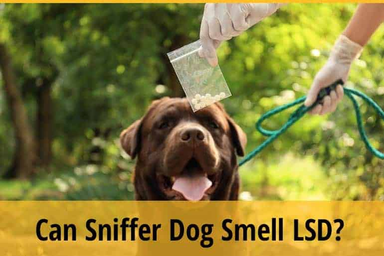 Can Sniffer Dogs Smell LSD And Acid Tabs