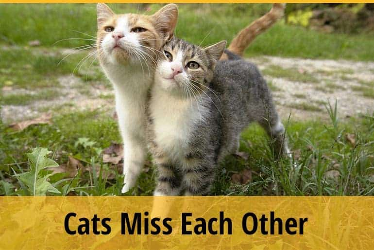 Do Cats Miss Each Other When Separated