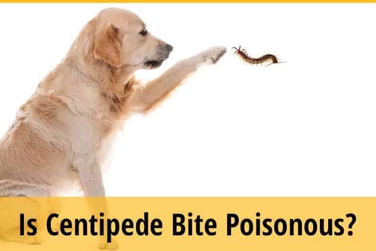 Centipede Bite Dog