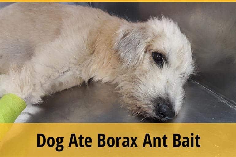 My Dog Ate Borax Ant Bait