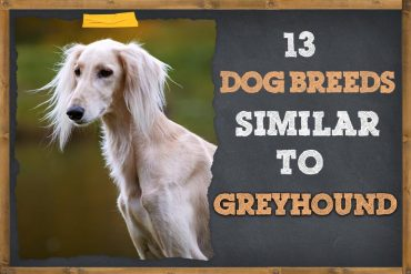 13 Dog Breeds That Are Similar To Greyhounds