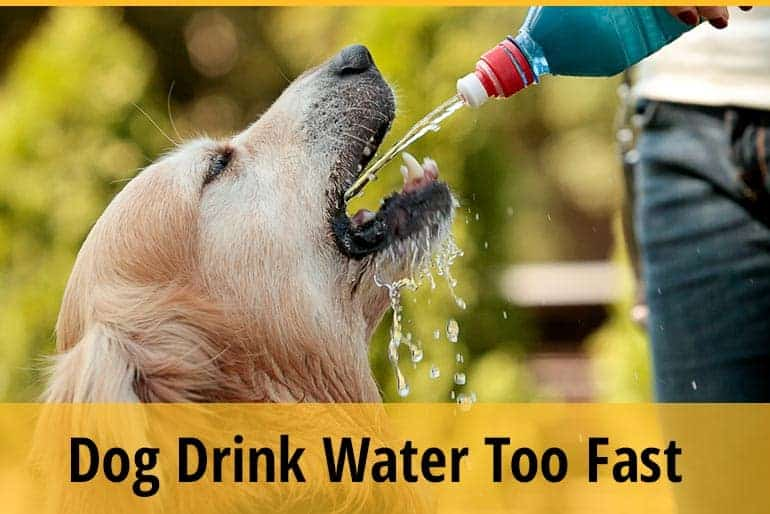 dog drink water fast