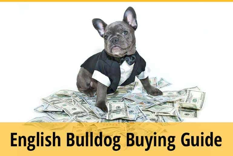 Buying English Bulldog ,