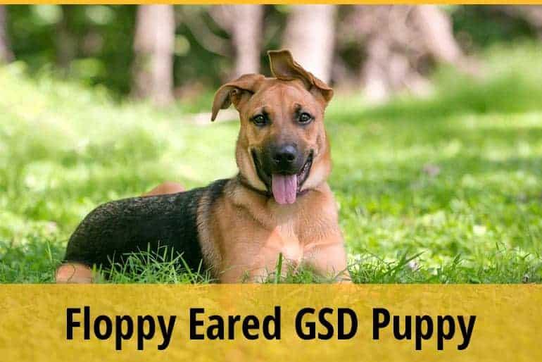 9 Months Old GSD Puppy Still Floppy Eared