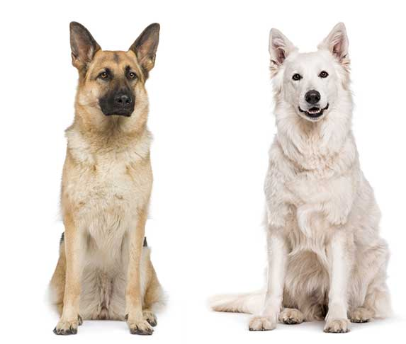 gsd and white swiss shepherd