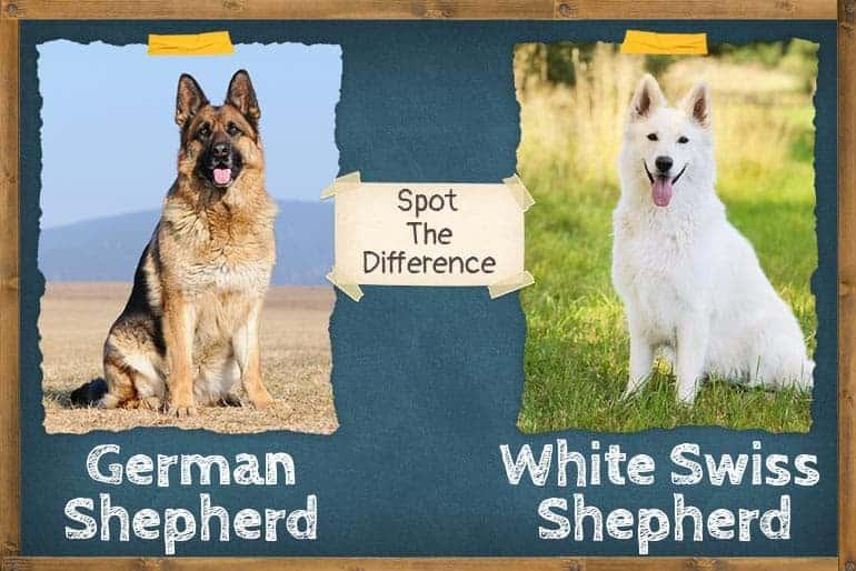 Swiss Shepherd vs German Shepherd