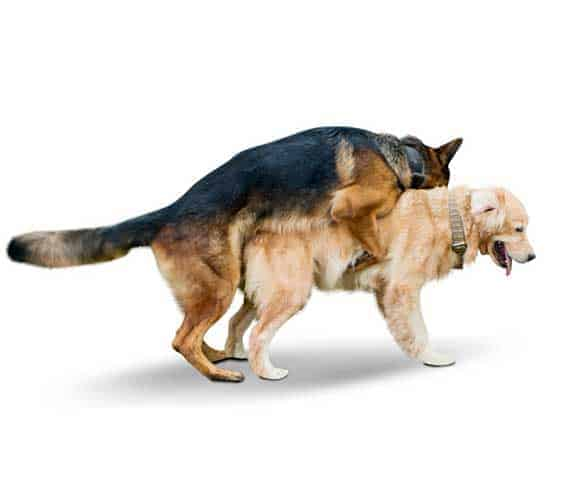 dog mating in white abckground