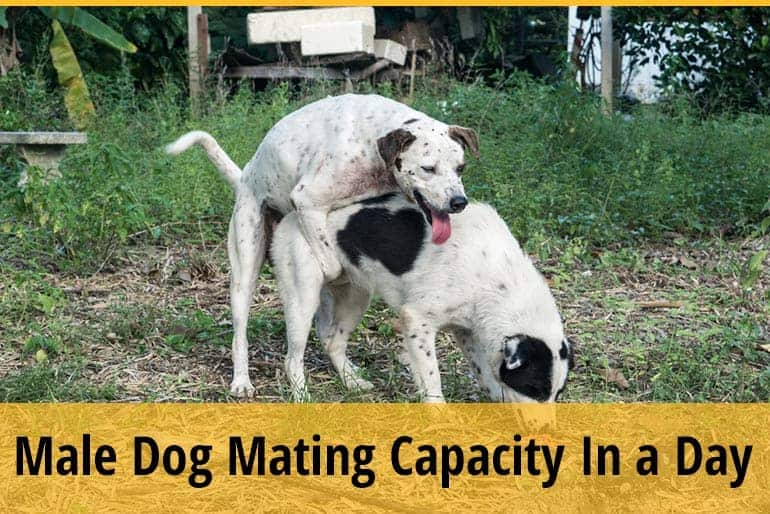 How Many Times A Day Can A Male Dog Mate