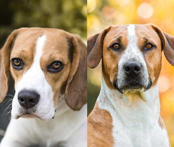 pure breed vs half breed beagle