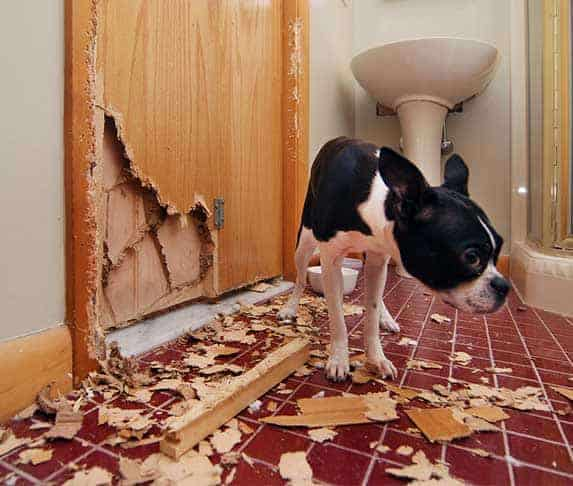 Dog eating drywalls