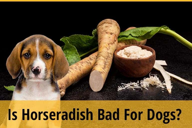 Is Horseradish Bad For Dogs