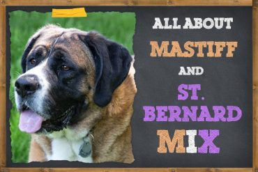 Saint Bernard & Mastiff Mix