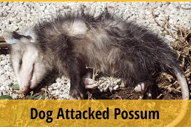 My Dog Attacked A Possum
